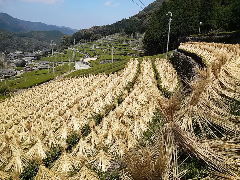 藁被せ 池田農園オリジナル